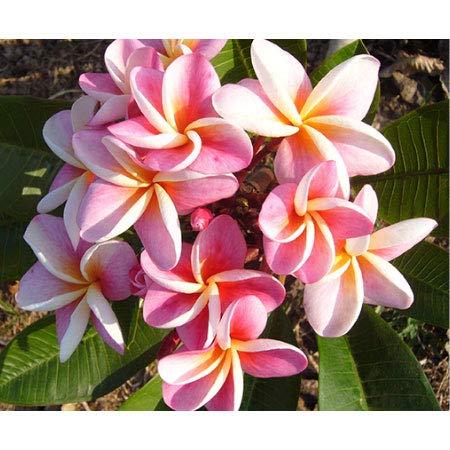 プルメリア:ディバイン8号鉢植え[2019年5月蕾または花付株] B07RSNQTHC