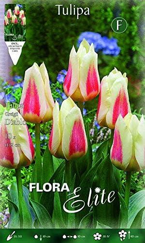 Tulipán Greigi Diablo, paquete de 10 bulbos Bulbs Bulbes: Amazon ...