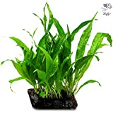 LUFFY Coco Philippines Java Fern: Living aquatic plant with beautiful dark green leaves for aquascapes