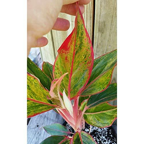 Aglaonema Beautiful Siam Aurora Red Chinese Evergreen Gorgeous Bare Root #LG02