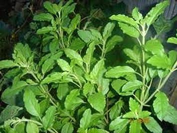 Gia Tai orgánicos Semillas para Albahaca Indio