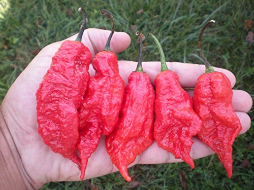 (1000) JAY'S RED GHOST SCORPION Hot Pepper Seeds by MW061