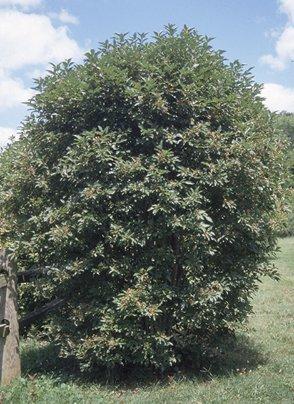 500 Silky Dogwood Tree Seeds, Cornus Amomum