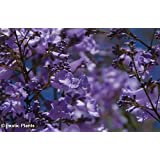 Blue Jacaranda Tree - Jacaranda Mimosifolia - 1 Pkt of 25 seeds - Stunning Tree - Bonsai