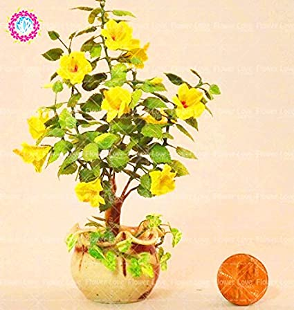 Amazoncom 100pcs Rare Yellow Mini Hibiscus Tree Seed Chinese