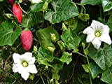 Ivy Gourd~10 Fresh Seeds(coccinia Grandis) Tindora, Little Gourd, Ttropical Vine