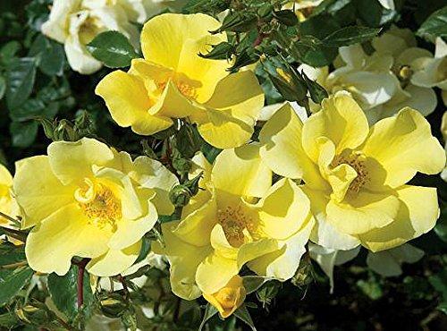 Lemon Drift Rose - Disease Resistant - 4