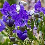 Outsidepride Balloon Flower Blue Platycodon Grandiflorus Plant Seed - 1000 Seeds