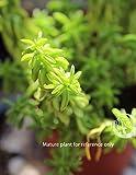 """Cutting Peperomia dolabriformis Prayer Pepper Cactus Succulent Plant Rare 3"""""""