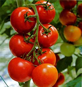 Early Red Cherry Tomato Seeds Korolek Organic Russian Heirloom NON-GMO