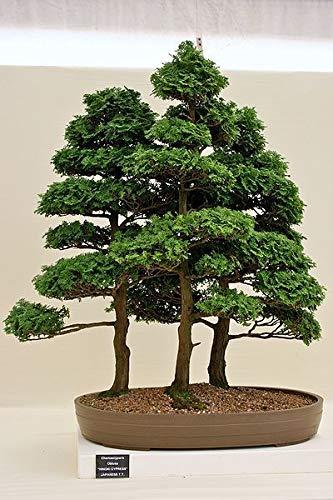HIGH Germination Seeds:600 Seeds : Hinoki, Chamaecyparis Obtusa, Seed Seeds (Evergreen, Bonsai) ()