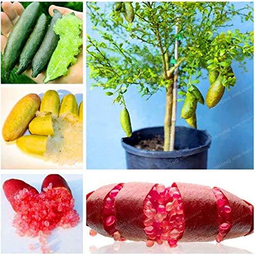 (Go Garden 2: Finger Limes Citrus Pomegranate Bonsai Fruit Bonsai Delicious Sweet Fruit Bonsai)