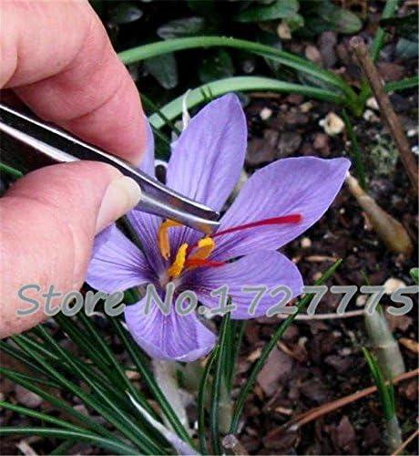 100PC semillas de azafrán, semillas de flor de azafrán, semillas de azafrán, jardín de flores de plantas, semillas Bonsai: Amazon.es: Jardín