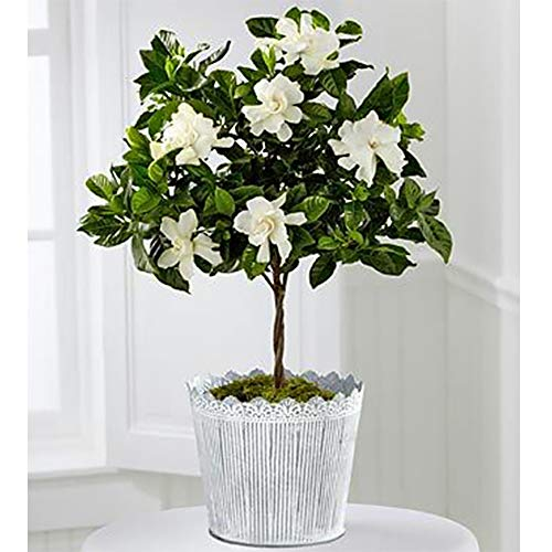 AMERICAN PLANT EXCHANGE Mini Gardenia Tree Miami Supreme Live Plant 6'' Pot Indoor/Outdoor Air Purifier by AMERICAN PLANT EXCHANGE (Image #1)