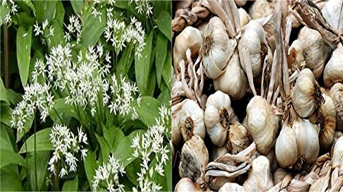 HEIRLOOM NON GMO Wilderness Garlic (Shade) 15 seeds