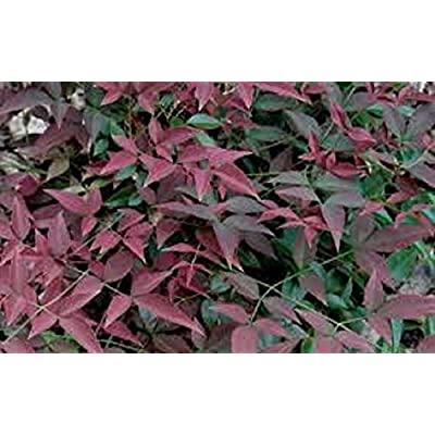 Nandina, Harbour Dwarf Heavenly Bamboo, plants, evergreen, 20 plants : Garden & Outdoor