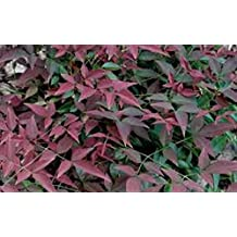 Nandina, Harbour Dwarf Heavenly Bamboo, plants, evergreen, FIVE plants