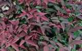 Nandina, Harbour Dwarf Heavenly Bamboo, plants, evergreen, 20 plants