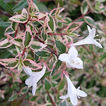 Abelia X Grandiflora Confetti Conti Abélia Panaché Blanc