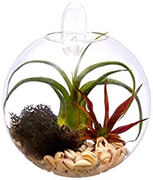 Hinterland Trading Beach Side Living Wall Glass Terrarium, 6 Inch