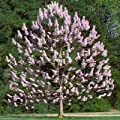 Royal Empress Tree Seeds 80 Seeds Upc 646263362648 - Gorgeous spring flowers smell like lavender