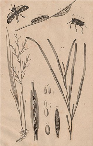 Zostera marina/eelgrass/seawrack. Zygaena/Six-spot Burnet. Zygopinae/Weevil - 1834 - old print - antique print - vintage print - Medicine art prints