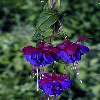 100 PCS Seeds Fuchsia Hybrida Plants Bonsai Lantern Flowers Perennial Garden New