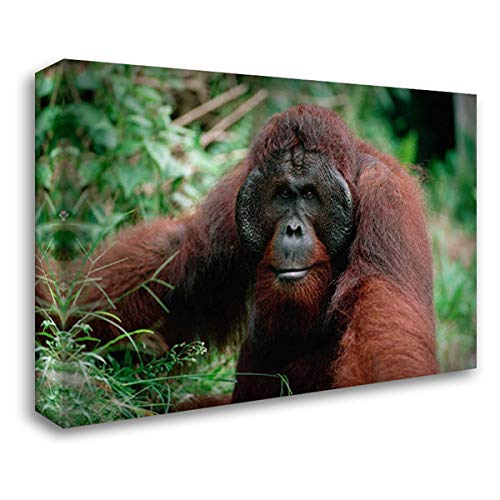 Orangutan Old Male, Tanjung Puting National Park, Borneo 35x24 Gallery Wrapped Stretched Canvas Art by Wothe, Konrad