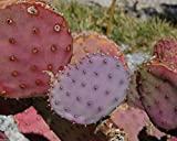 Purple Pink Green Opuntia chlorotica Santa Rita ''50 Seeds'' Cactus Pad Prickly Pear