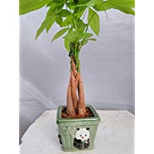 Jmbamboo- 5 Money Tree Plants Braided Into 1 Tree -Pachira with Panda Vase Simbolize Fortune