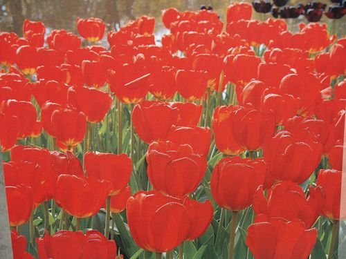 Darwin Tulips Red Bulbs 50/pack by Netherland