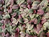 Burgundy Glow Ajuga FULL FLAT OF 18 POTTED PLANTS