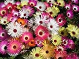 100+ Mesembryanthemum Magic Carpet Mix Flower Seeds / Ice Plant / Perennial