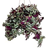 "Purple Wandering Jew - 6"" Hanging Pot - Easy to Grow House Plant - Inch Plant"