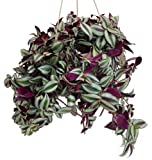 Purple Wandering Jew - 6'' Hanging Pot - Easy to Grow House Plant - Inch Plant