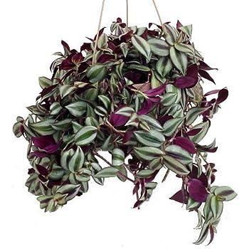 Purple wandering jew 6 hanging pot easy - Purple wandering jew plant ...