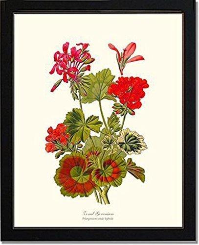 Vintage Botanical Flower Art Print: Geranium, Zonal (Step)