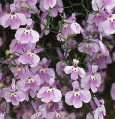 500 Lobelia Seeds Fountain Lilac Erinus Rosamond NON PELLETED SEEDS by morebargins_com