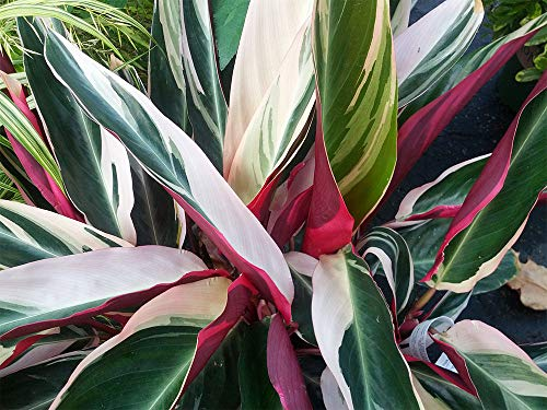 AMERICAN PLANT EXCHANGE Tricolor Stromanthe Easy-to-Grow Live Prayer Plant, 1 Gallon, Indoor Air Purifier! by AMERICAN PLANT EXCHANGE (Image #4)
