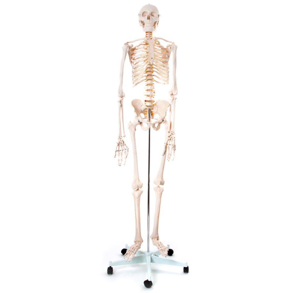 66FIT - Modelo anatómico de esqueleto humano (tamaño real, 170 cm)