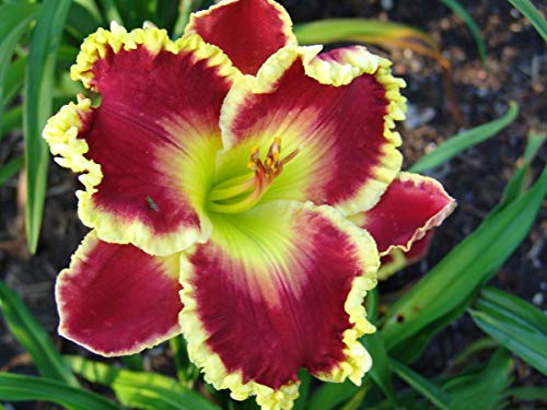 Red Daylily Roots-5 Roots-Daylily Bulbs Rhizome Roots Perennial Reblooming Flowers Courtyard Garden Decoration Balcony Bonsai Plant ()