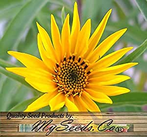 (400) MAXIMILIAN PERENNIAL SUNFLOWER seed - OVER 8 FEET TALL ~ TALLER Comb. S&H