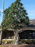1 Palm Pandanus utilis/Screwpalm/Screwpine Tree Seedling Grown NHKM17