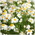 Earthcare Seeds Chamomile Roman 10,000 Seeds (Anthemis nobilis) Heirloom - Non GMO - Perennial
