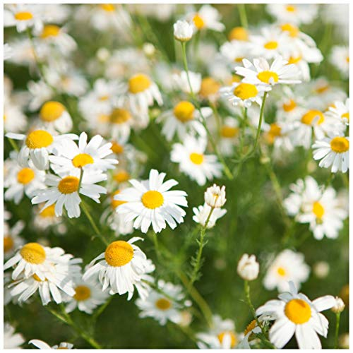 Earthcare Seeds Chamomile Roman 10,000 Seeds (Anthemis nobilis) Heirloom - Non GMO - Perennial (Seed Chamomile Roman)