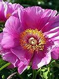 Coral Mu Shao Yao Peony 5 Seeds-Paeonia-Shade Perennial