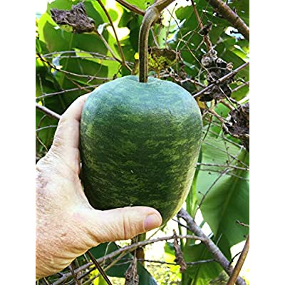 Giant Apple Gourd (Lagenaria siceraria) Seeds by Robsrareandgiantseeds UPC0764425788270 Non-GMO, Organic, Artisans, World's Biggest, Birdhouses, USA Grower, Competitions, 1182 Package of 8 Seeds : Garden & Outdoor