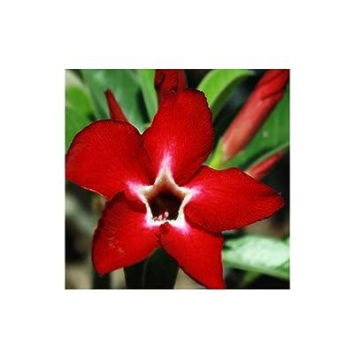 Adenium Obesum Grafted Plants RED Maxza Star Desert Rose Bonsai Decor Registered Track Online 100% Guarantee Satisfaction: Garden & Outdoor