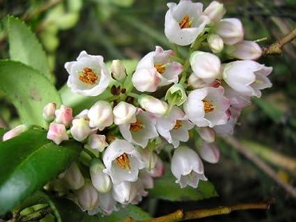 Amazon.com : 100 GARDEN HUCKLEBERRY (Ground Cherry) Solanum ...