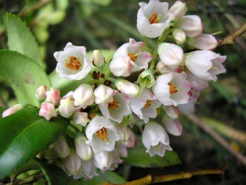 100 GARDEN HUCKLEBERRY (Ground Cherry) Solanum Melanocerasum Berry Fruit Bush Seeds by Seedville